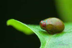 Seed-like planthopper by melvynyeo