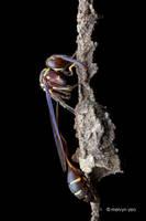 Slim Waist Wasp by melvynyeo
