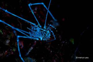 UV Florescence Harvestman by melvynyeo