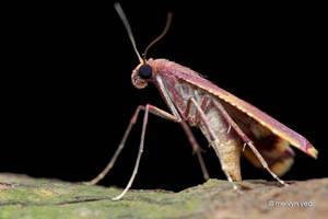 Pinkish Moth by melvynyeo