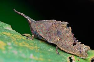 Spiky hopper nymph by melvynyeo