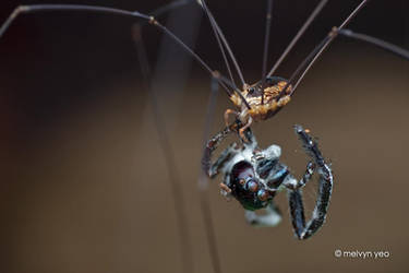 Harvestman eating a dead fungus-ed Spider by melvynyeo