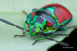 Metallic Shield Bug by melvynyeo