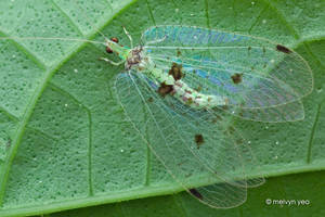 Lacewing by melvynyeo