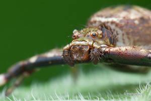 Strigoplus (Simon, 1885) Crab Spider by melvynyeo