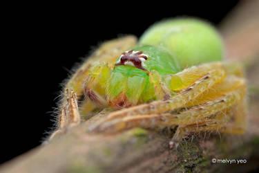 Green Huntsman,  Gnathopalystes sp by melvynyeo