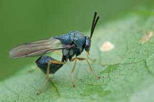 Eucharitid wasp by melvynyeo