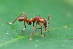 Ant Mimic Broad-headed bugs by melvynyeo