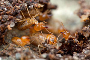 Nasute Termites by melvynyeo