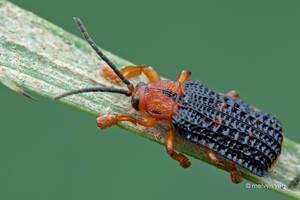 Leaf Beetle by melvynyeo