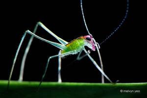 Phaneropterinae Katydid Nymph by melvynyeo