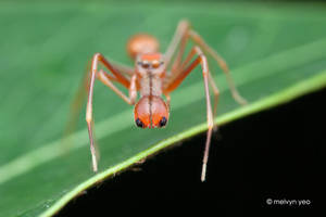Ant-Mimicking Jumping Spider (Myrmarachne sp.) by melvynyeo