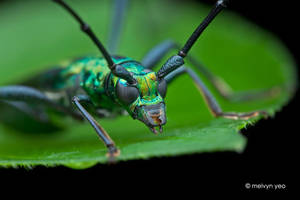 Longhorn beetle (Chloridolum sp.?) by melvynyeo