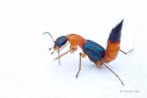 Paederus Rove Beetle by melvynyeo