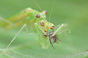 Mating Mantis by melvynyeo
