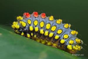 Cyclosia sp. Zygaenidae by melvynyeo