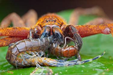 Huntsman Spider eating Centipede by melvynyeo