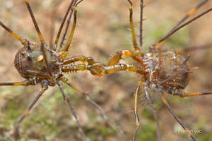 2 males Harvestman (Hoplodino) fighting by melvynyeo