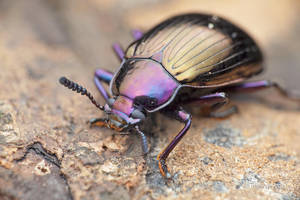 Darkling beetle (Stenochiinae) by melvynyeo