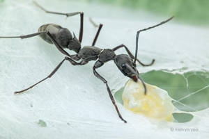 Ant (Diacamma sp.) raiding Jumping Spider Nest by melvynyeo