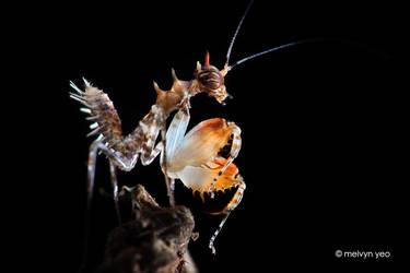 Mantis nymph (Pachymantis bicingulata) by melvynyeo