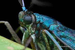 Metallic Blue Moth by melvynyeo