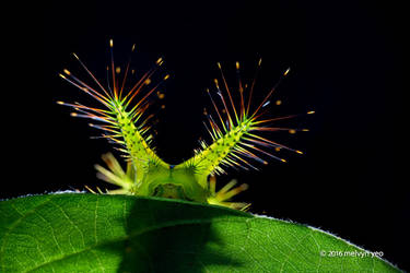 Stinging Nettle Slug Caterpillar by melvynyeo