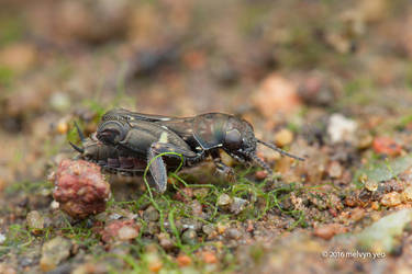 Pygmy mole cricket, Tridactylidae by melvynyeo