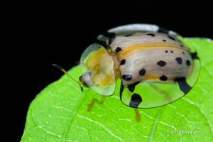 Tortoise Beetle Aspidomorpha miliaris by melvynyeo