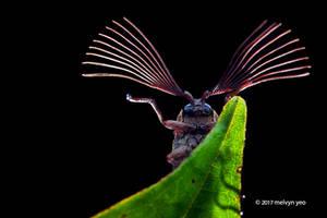 Cedar beetle (Callirhipidae) by melvynyeo