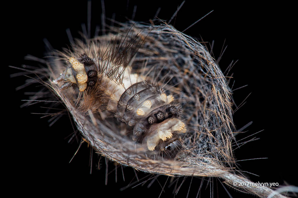 Caterpillar building cocoon by melvynyeo