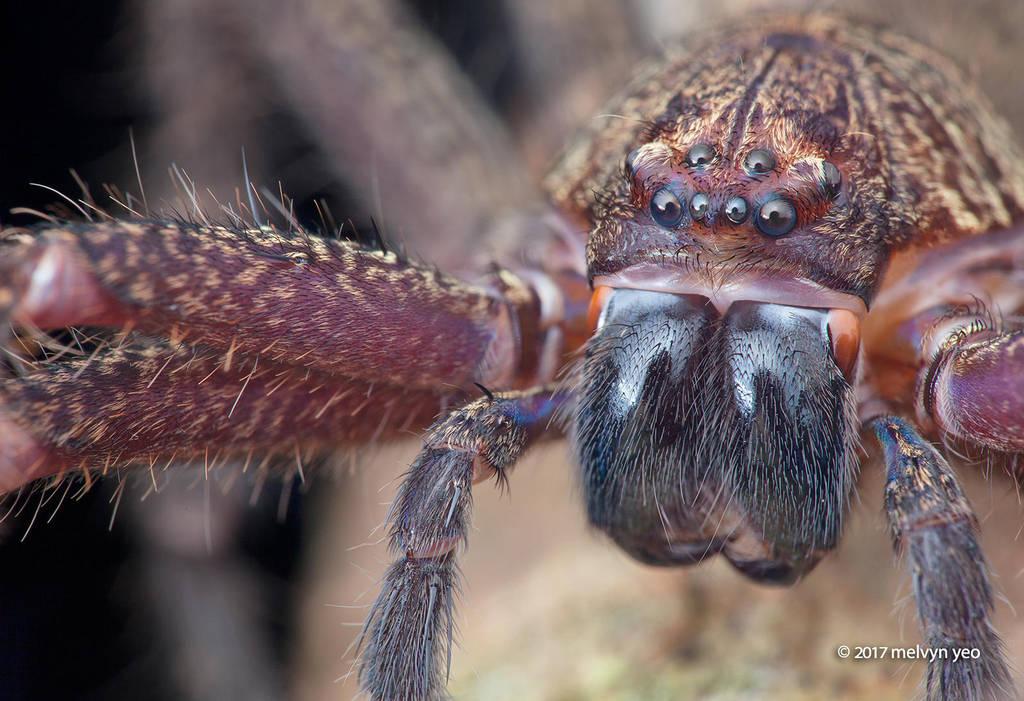 Huntsman spider Heteropoda by melvynyeo