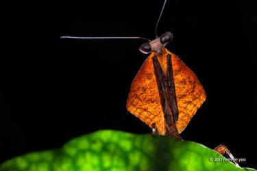 Dead Leaf Mantis by melvynyeo