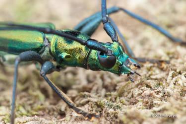 Longhorn beetle Chloridolum sp. by melvynyeo