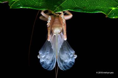 Predatory tree cricket by melvynyeo