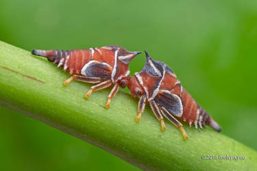 Centrotypus pactolus by melvynyeo