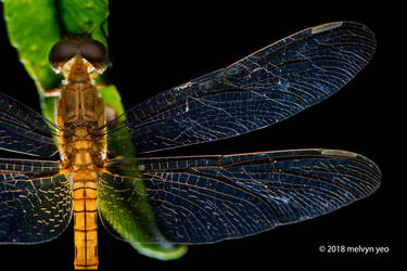 Dragonfly by melvynyeo