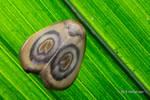 Lichen moth, Lithosiini, Trischalis sp. by melvynyeo