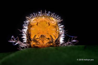 Beetle Pupa by melvynyeo