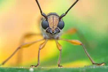 Baby-Faced Longhorn Beetle (Thranius bimaculatus) by melvynyeo