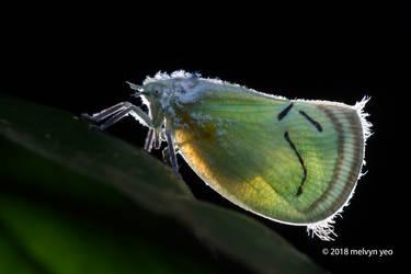 Flatidae by melvynyeo