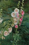 Heirloom Hollyhocks by A-Fire-Within