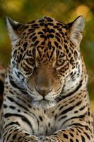African Leopard 2 by shaunthorpe