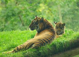 Sumatran Tiger with cub by shaunthorpe