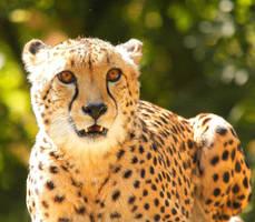 Cheetah3 by shaunthorpe