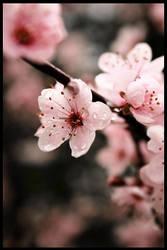 Sakura by TsuiokuHen
