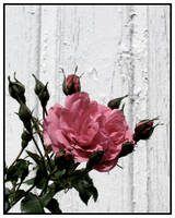 Pink by Nokturnalia