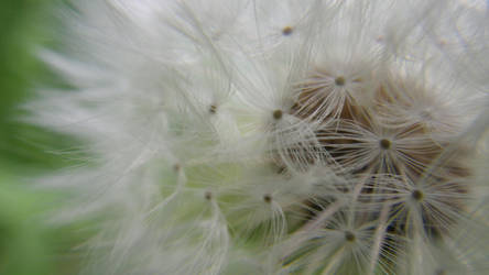 Dandelion by Chrissice
