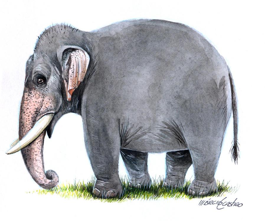 Indian Elephant by marciolcastro