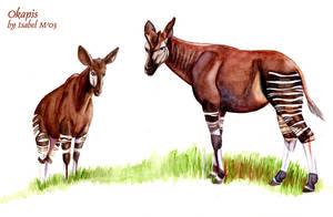 Okapi by Ameban
